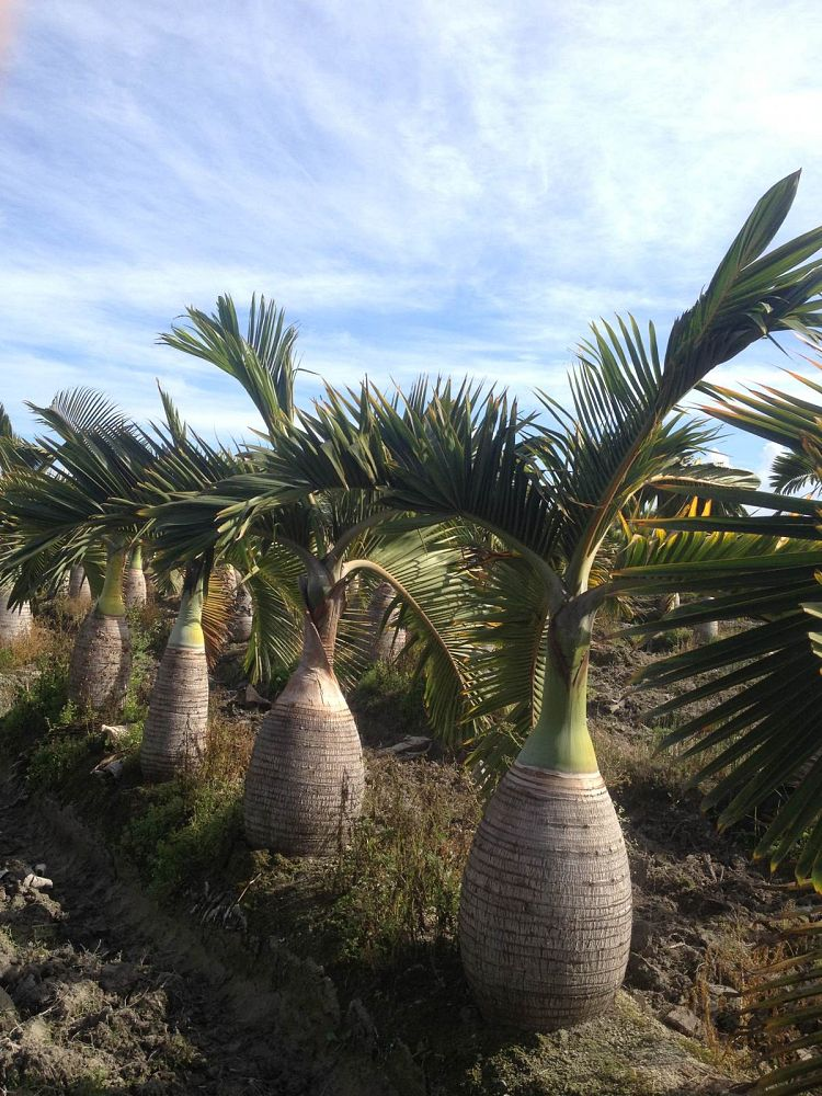 hyophorbe-lagenicaulis-bottle-palm
