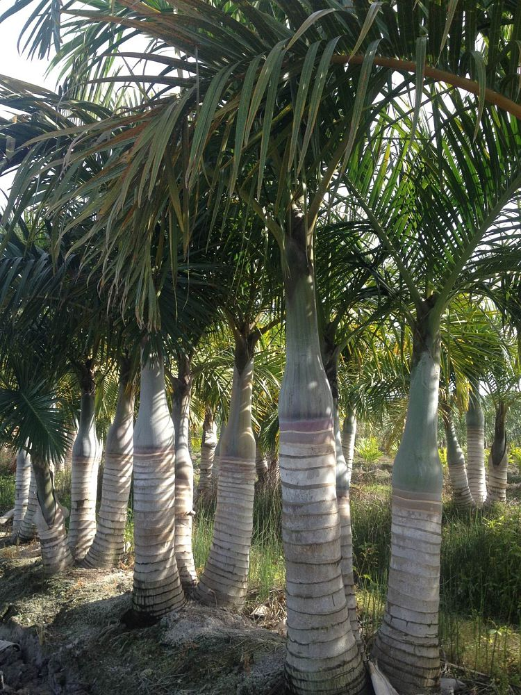 hyophorbe-verschaffeltii-mascarena-palm-spindle-palm