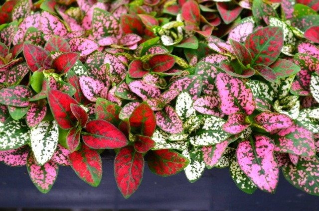 hypoestes-phyllostachya-select-series-polka-dot-plant