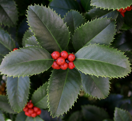 ilex-conty-liberty-holly