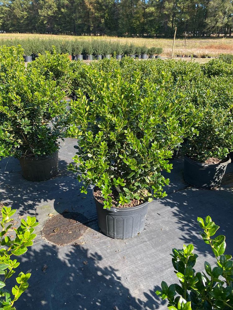 ilex-cornuta-burfordii-nana-chinese-holly-dwarf-burford-holly