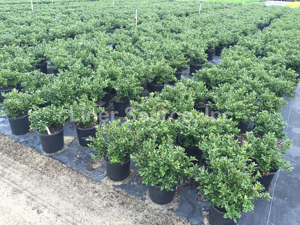ilex-cornuta-carissa-chinese-holly-horned-holly