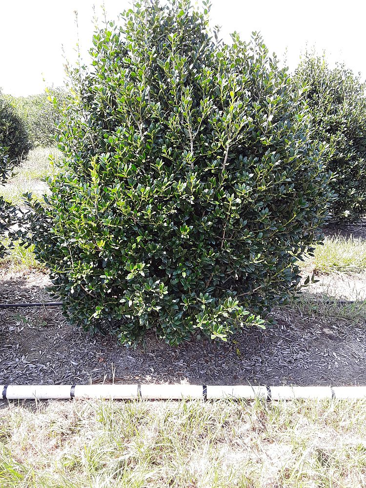 ilex-cornuta-delcambre-chinese-holly-horned-holly