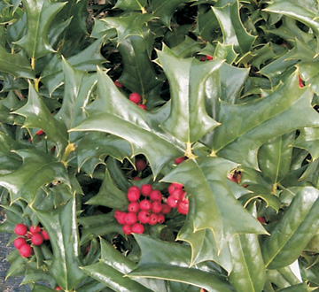 ilex-cornuta-rotunda-chinese-holly-horned-holly