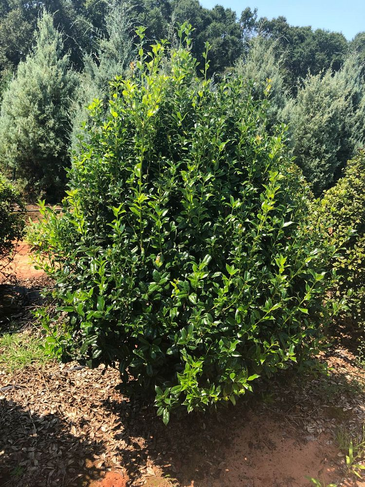 ilex-cornuta-sizzler-chinese-holly-horned-holly