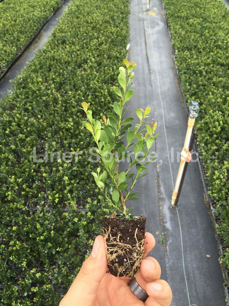 ilex-crenata-compacta-japanese-holly