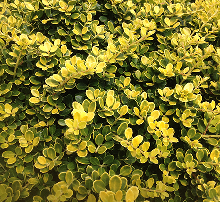ilex-crenata-gold-tip-japanese-holly