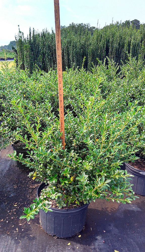 ilex-crenata-green-luster-japanese-holly