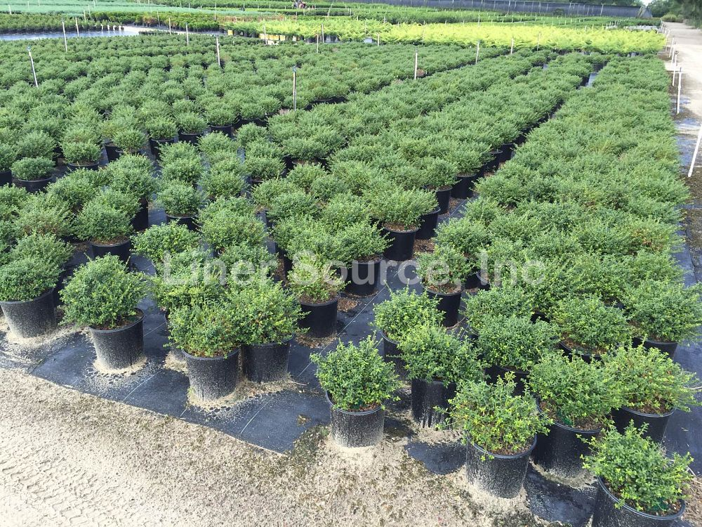 ilex-crenata-soft-touch-japanese-holly