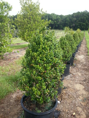 ilex-crenata-steeds-japanese-holly