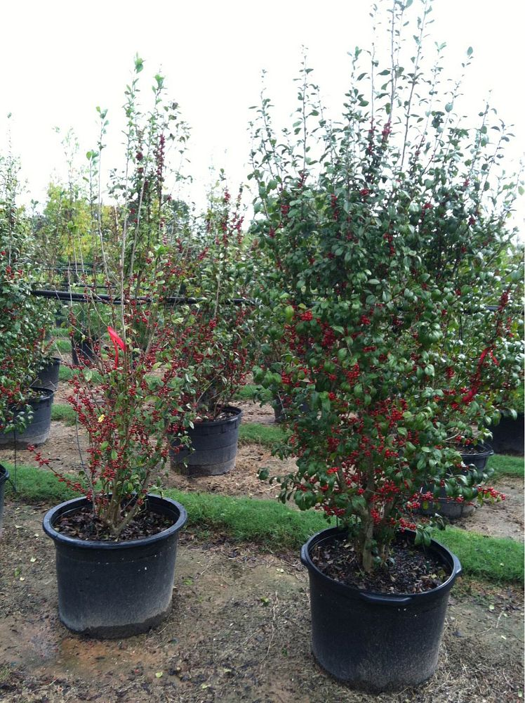 ilex-decidua-possumhaw-holly-deciduous-holly