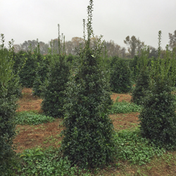 ilex-hl10-90-christmas-jewel-holly