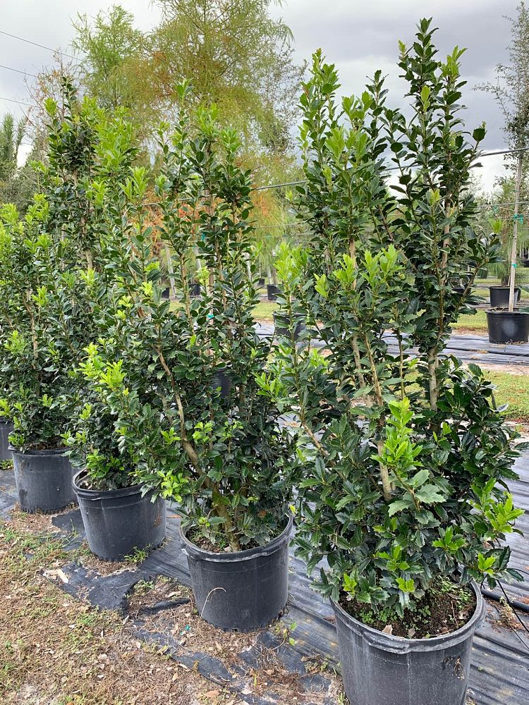 ilex-hybrid-conaf-oak-leaf-tm-holly-oakleaf-holly