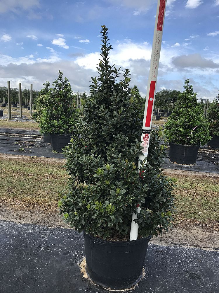 ilex-hybrid-magland-holly-oakland