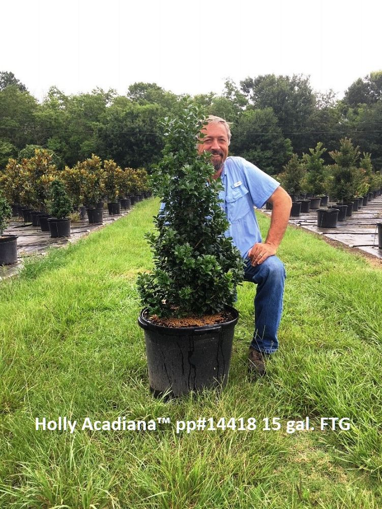 ilex-magiana-holly-acadiana
