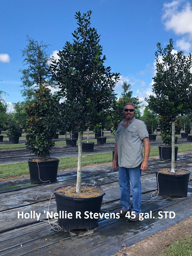 ilex-nellie-r-stevens-holly