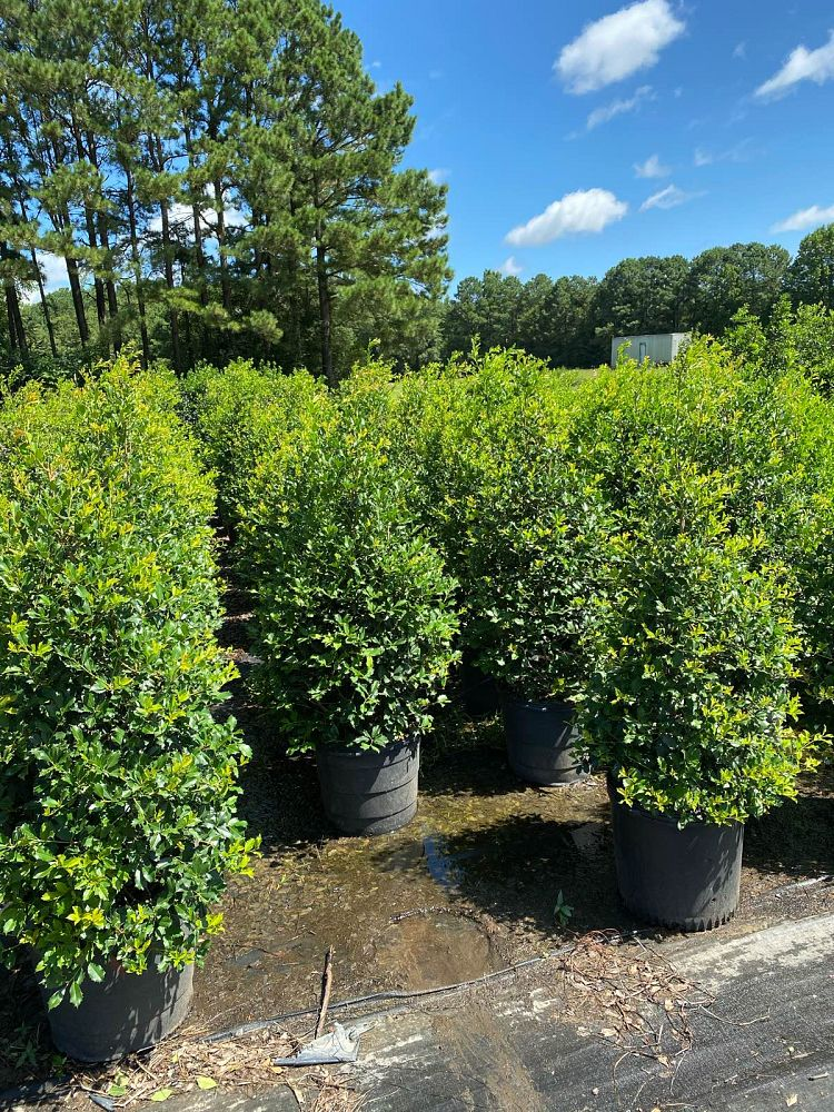ilex-opaca-greenleaf-american-holly