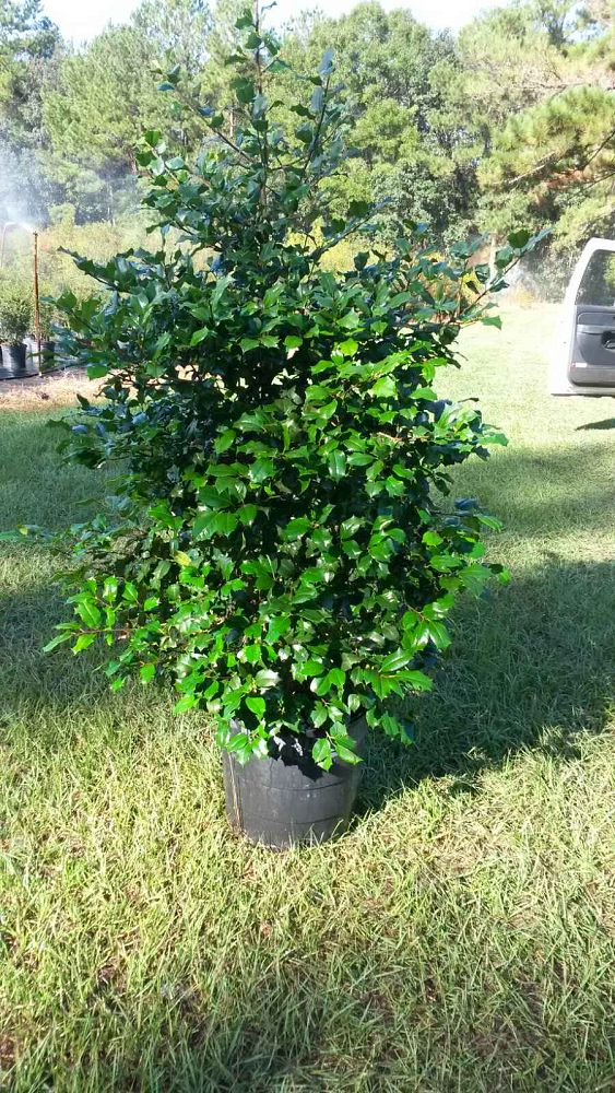 ilex-opeca-croonenburg-american-holly