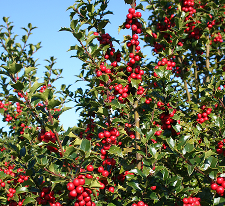 ilex-rutzan-holly-red-beauty