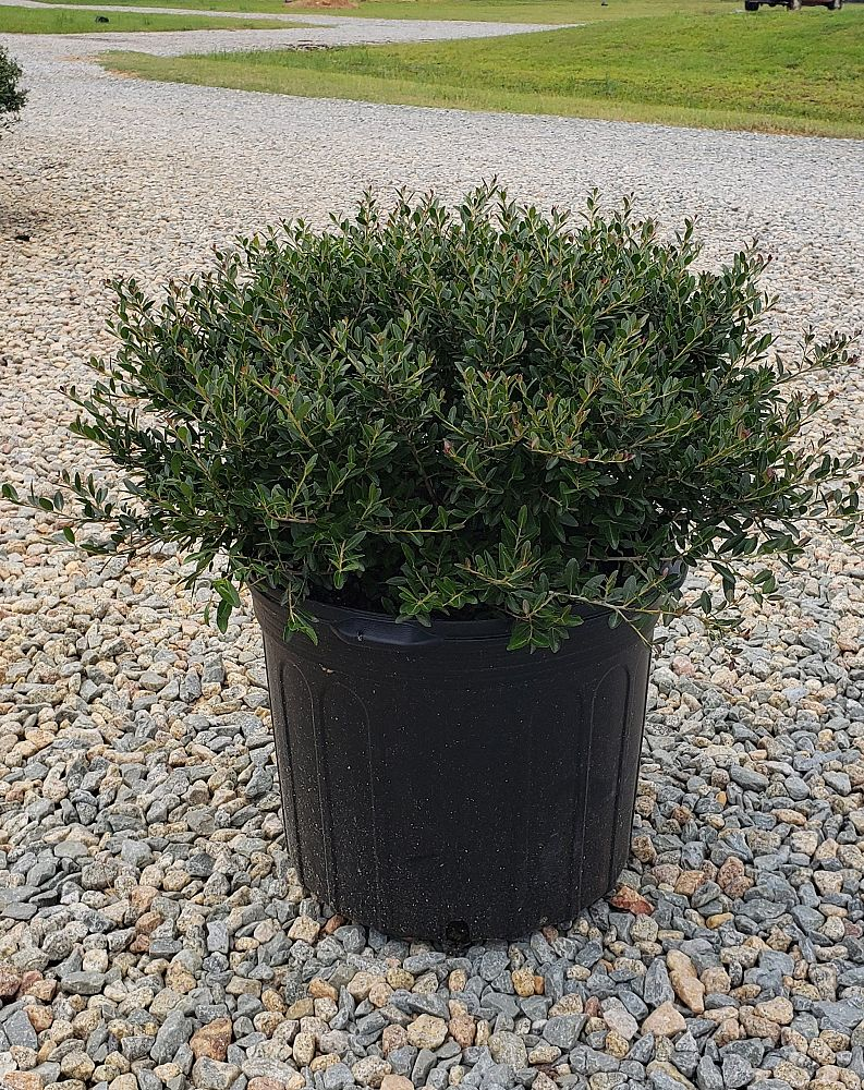 ilex-vomitoria-bordeaux-yaupon-holly-condeaux