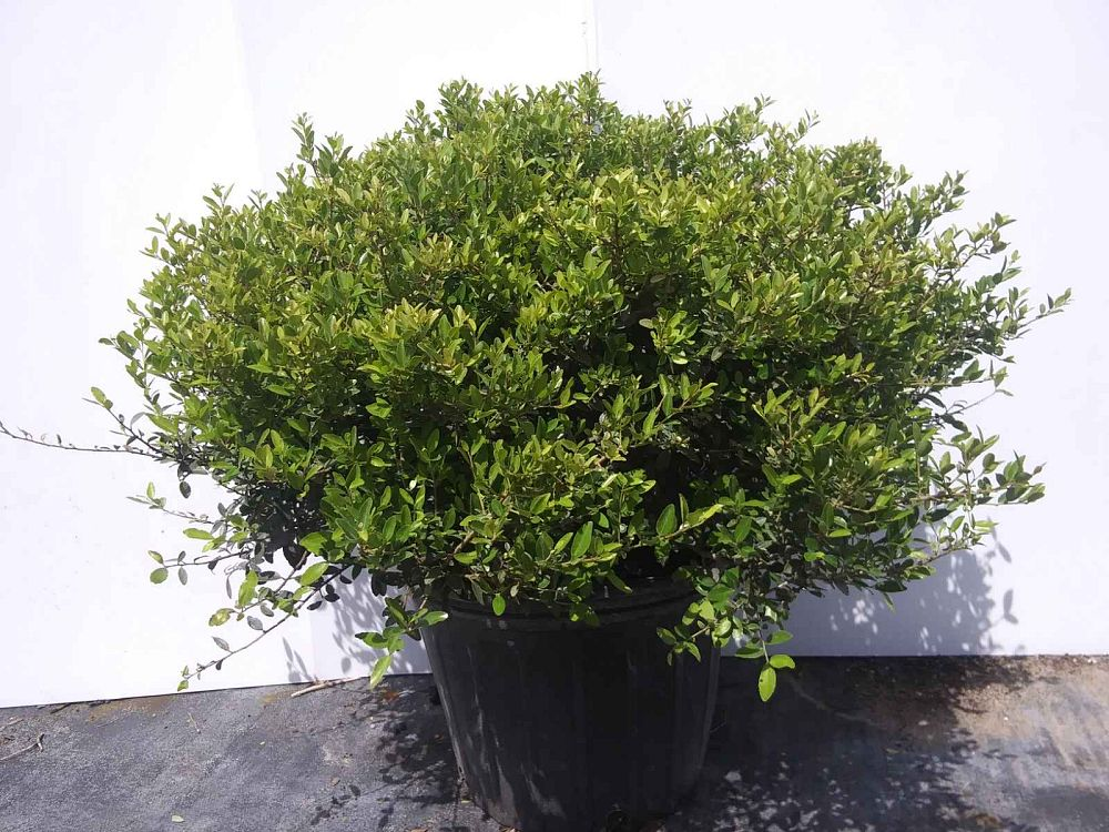 ilex-vomitoria-nana-dwarf-yaupon-holly