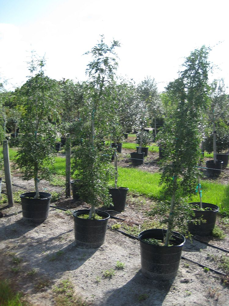 Mcmullen Wholesale Nursery Inc Plantant Com