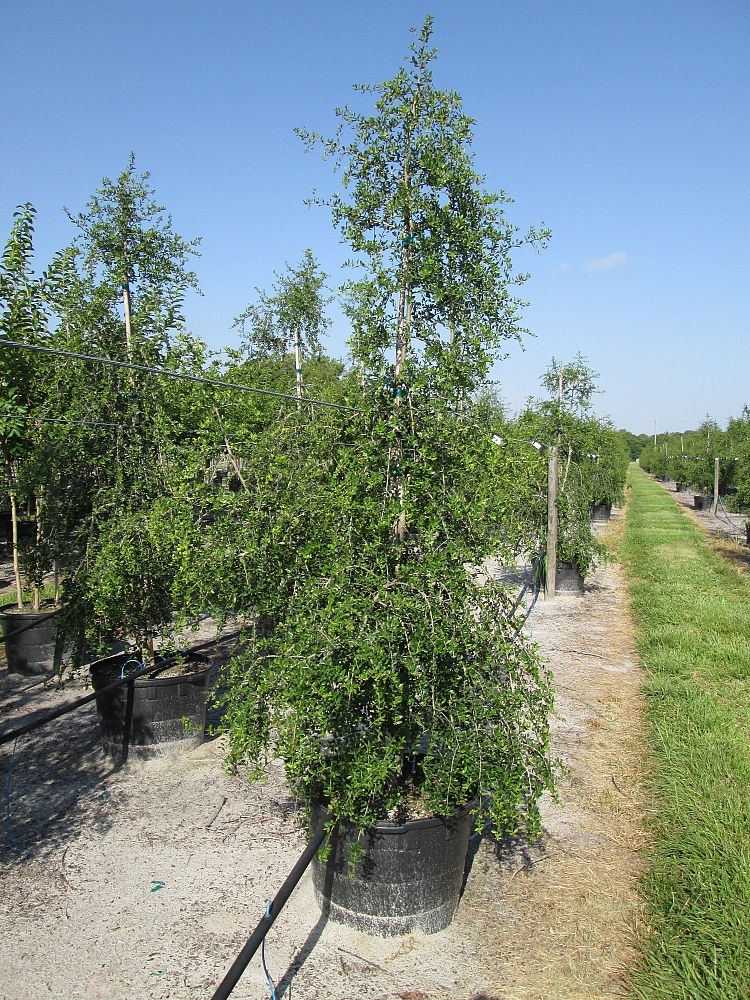 ilex-vomitoria-pendula-yaupon-holly-weeping