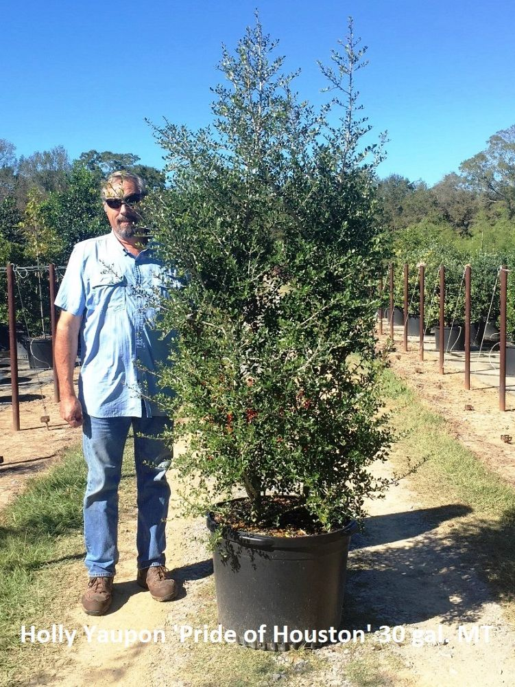 ilex-vomitoria-pride-of-houston-yaupon-holly