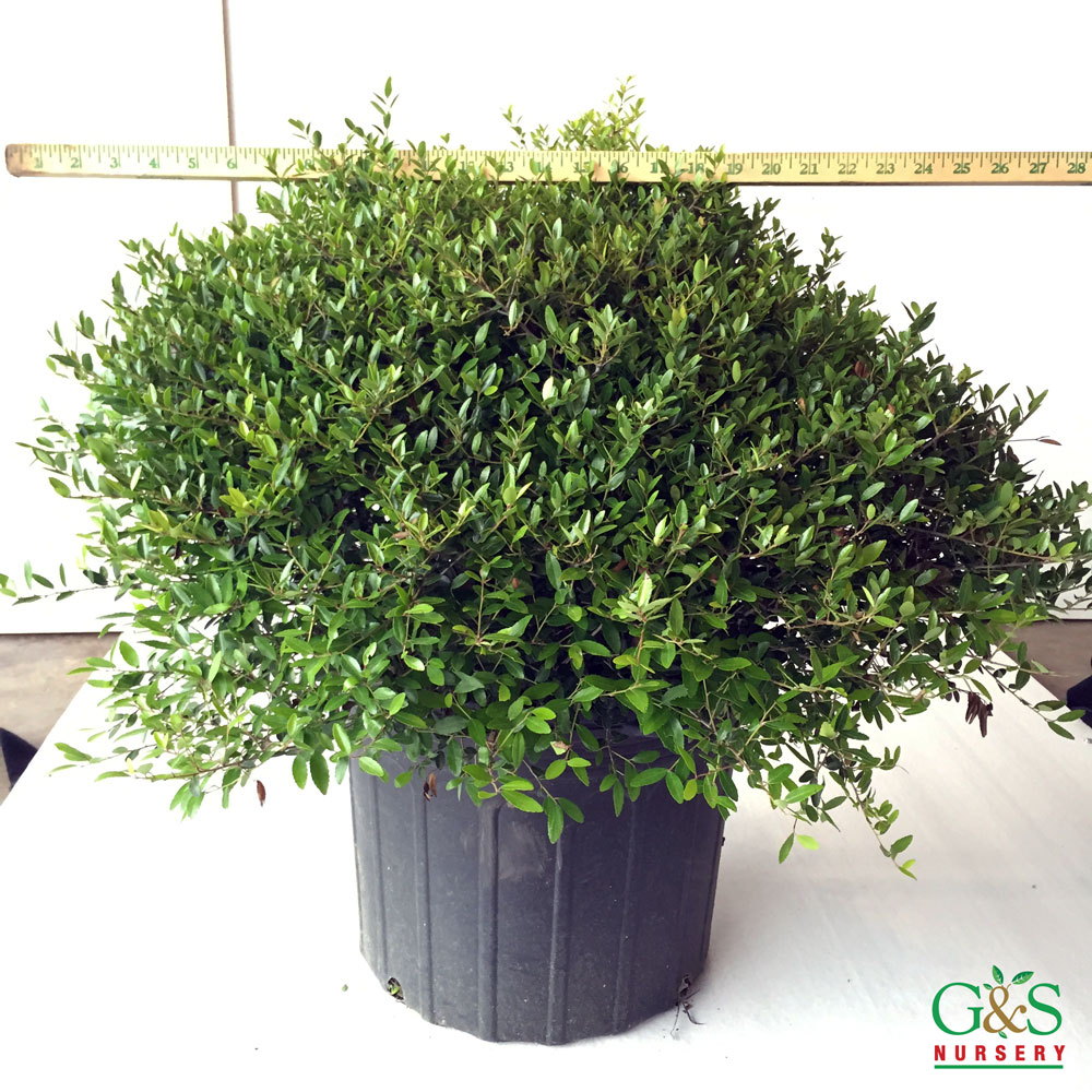 ilex-vomitoria-schillings-dwarf-yaupon-holly