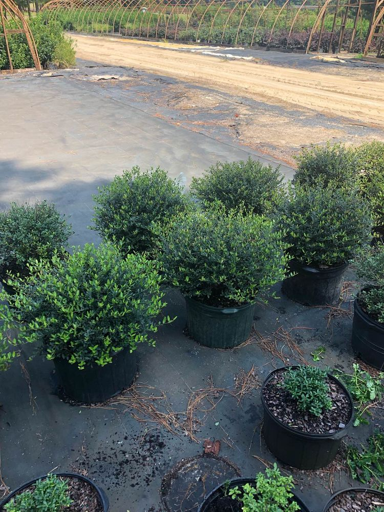 ilex-vomitoria-schillings-yaupon-holly-ilex-vomitoria-stokes-dwarf