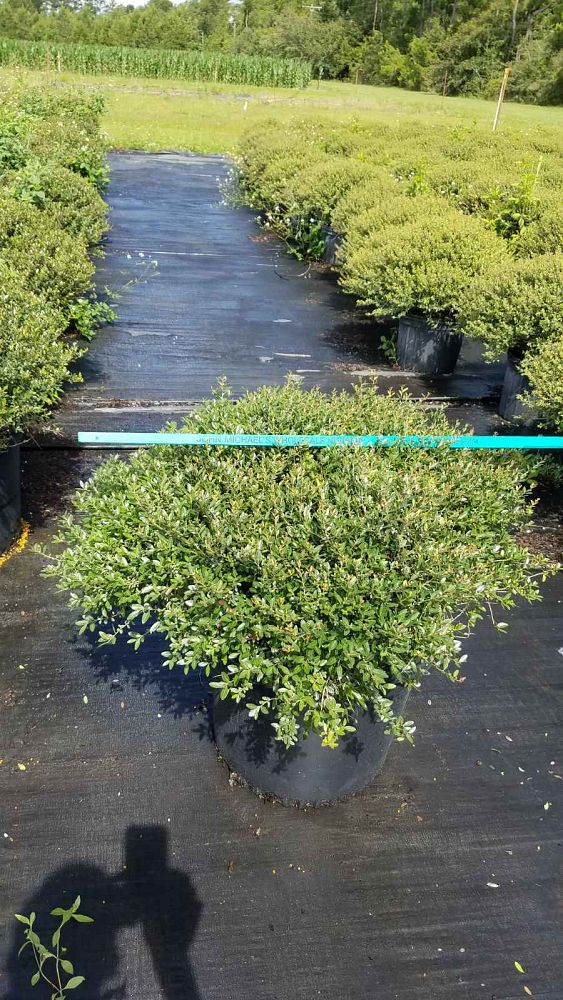 ilex-vomitoria-stokes-dwarf-yaupon-holly-ilex-schillings