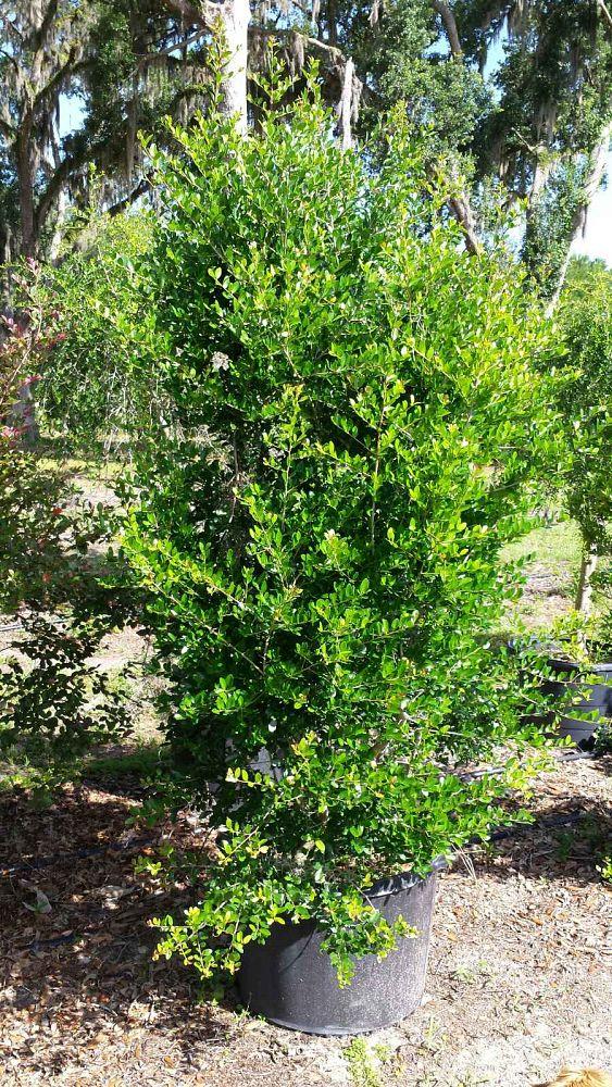 Dwarf Bamboo Hedge
