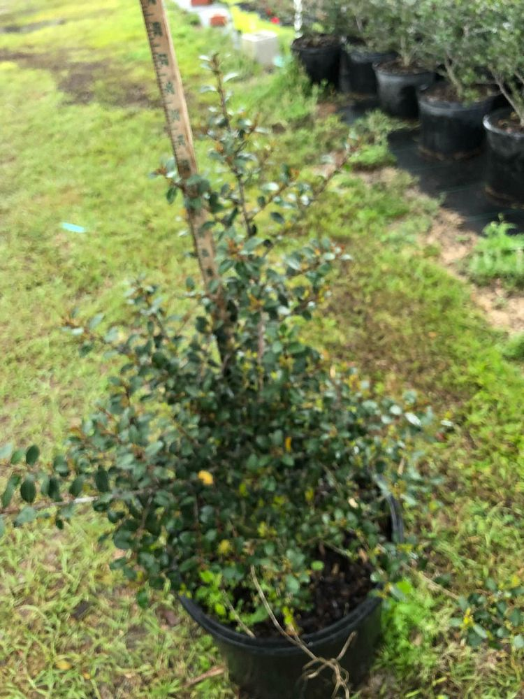 ilex-vomitoria-upright-yaupon-yaupon-holly