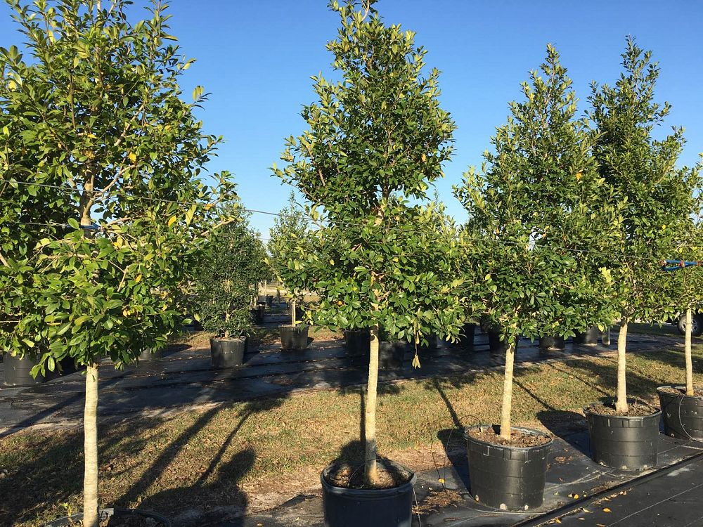 ilex-x-attenuata-eagleston-holly