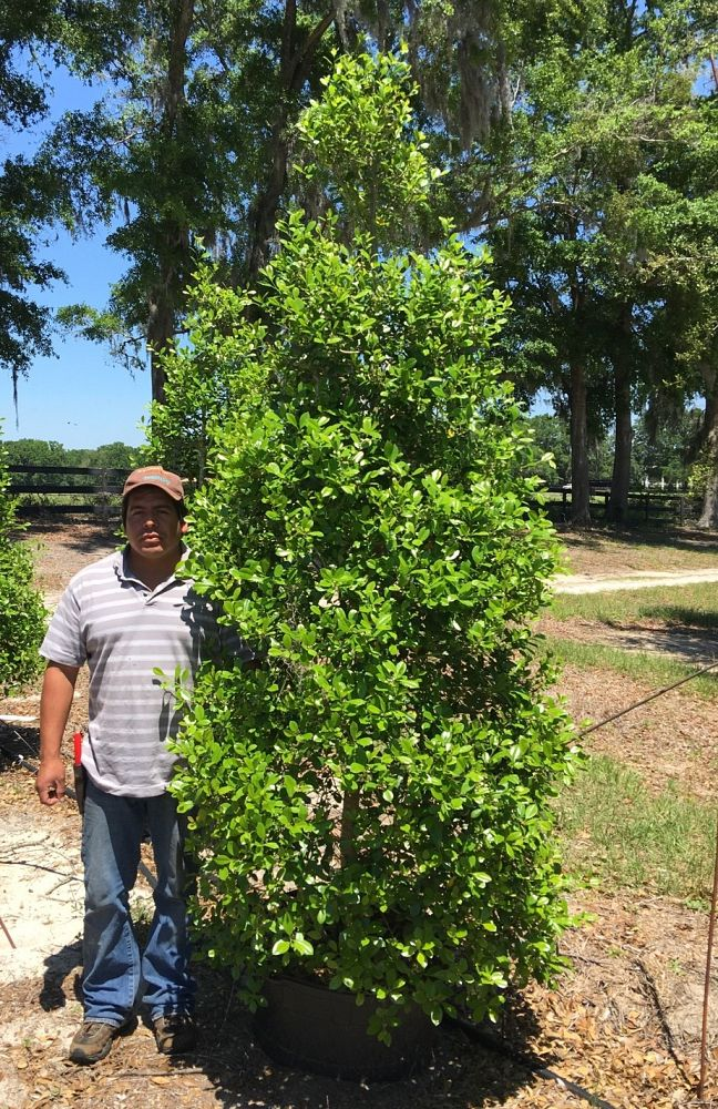 ilex-x-attenuata-east-palatka-holly