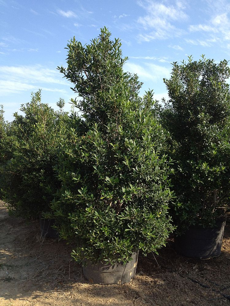 ilex-x-attenuata-fosteri-holly-fosters