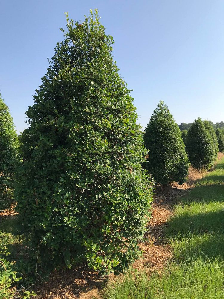 ilex-x-attenuata-greenleaf-holly