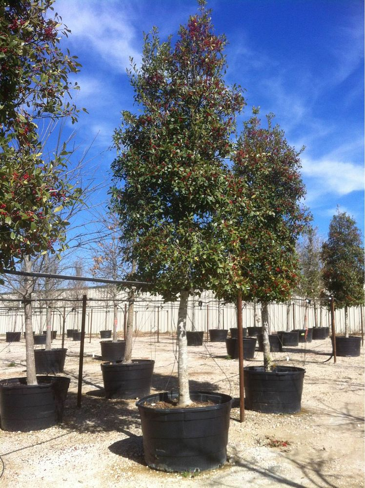 Alta Vista Nursery Fort Worth Plantant Com