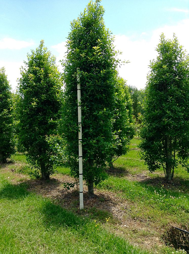 ilex-x-attenuata-savannah-holly