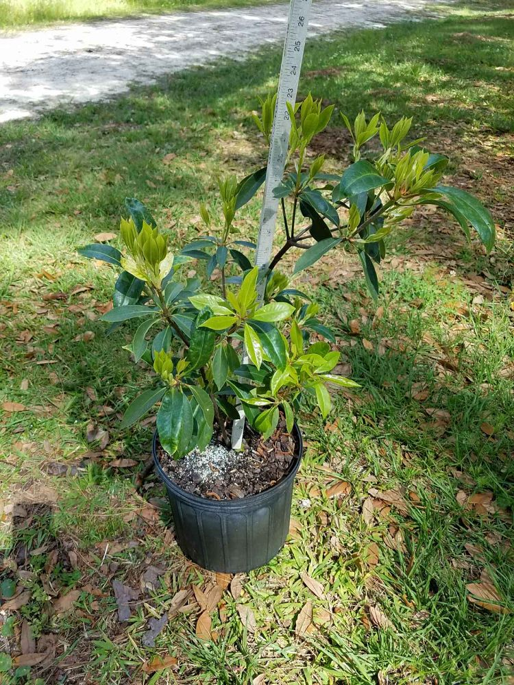 illicium-floridanum-florida-red-anise