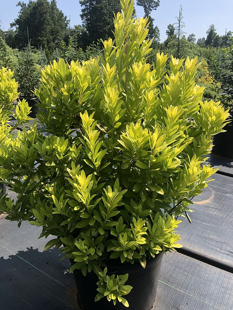 illicium-parviflorum-florida-sunshine-yellow-anise-star-anise-small-anise-tree