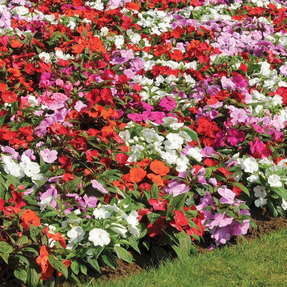 Locate find wholesale plants for New guinea impatiens