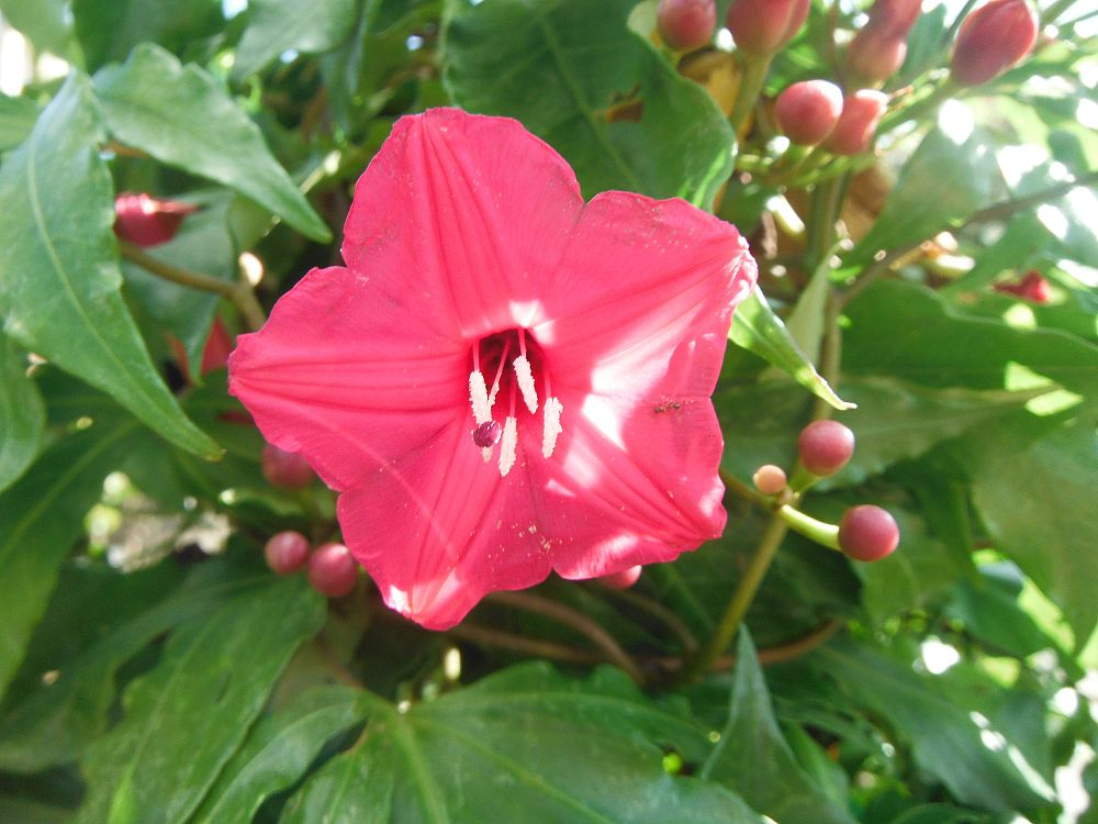 ipomoea-horsfalliae-perennial-morning-glory
