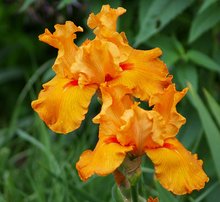 iris-firebreather-tall-bearded-iris