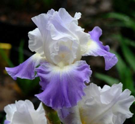 iris-germanica-clarence-german-bearded-iris