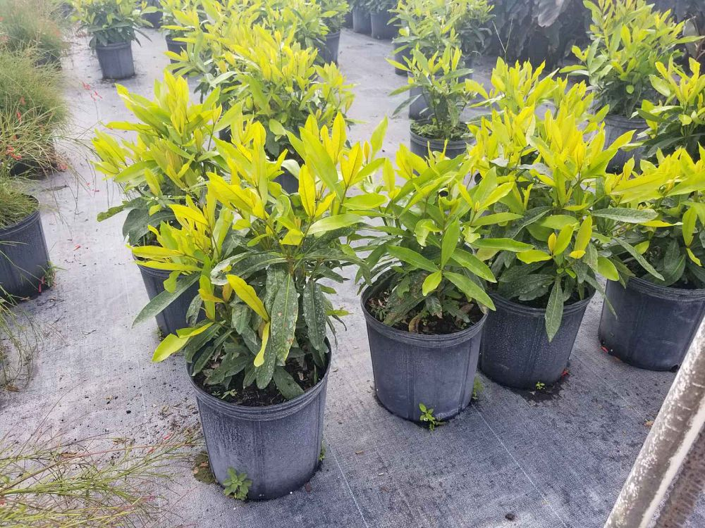 ixora-casei-super-king-ixora-duffii-super-king