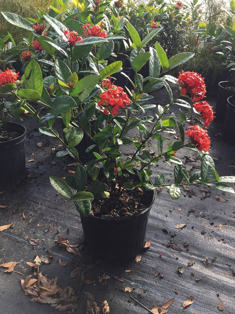 ixora-coccinea-maui-red-flame-of-the-woods-jungle-flame-jungle-geranium