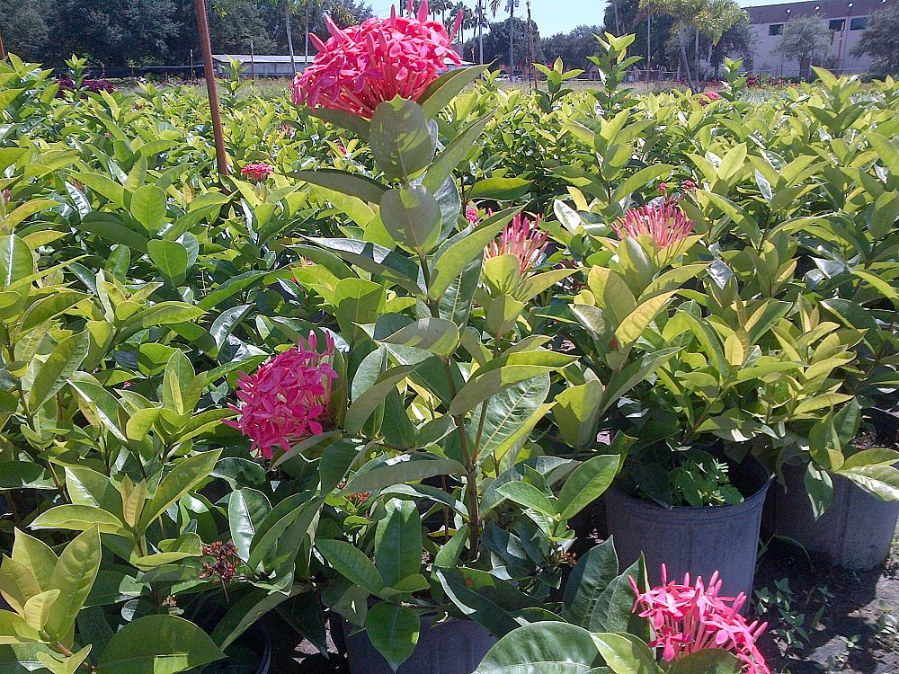 ixora-coccinea-nora-grant-flame-of-the-woods-jungle-flame-jungle-geranium