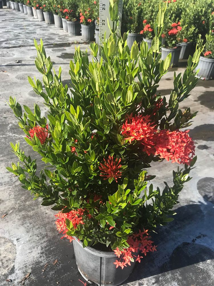 ixora-taiwanensis-dwarf-red-flame-of-the-woods-jungle-flame-dwarf-ixora