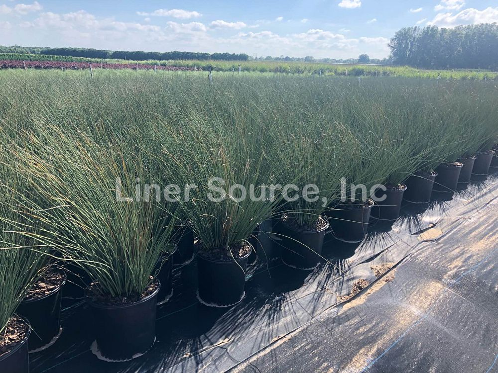juncus-inflexus-blue-arrow-rush